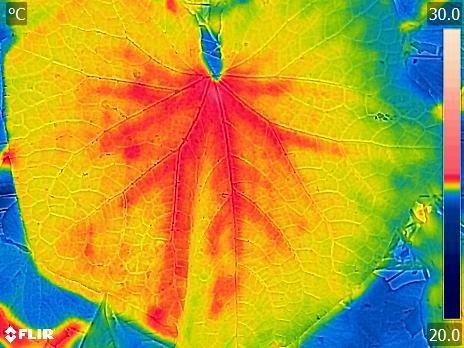 圖三、小胡瓜葉片之熱影像溫度分佈情形