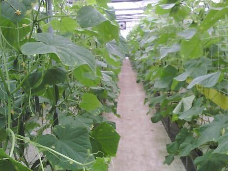 圖二、設施及小胡瓜植體之可見光影像