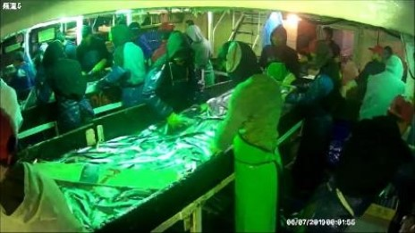 秋刀魚船漁工需於船艙進行分級及排整作業情形(空間狹小、人員密集)