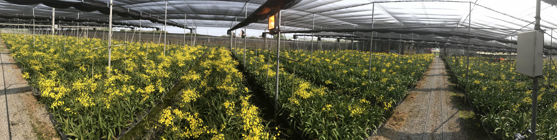 圖四、耕牛園2021/3/17拍攝之花況,左側為智能補光處理組,右側為對照組。兩邊花量明顯懸殊,智能補光技術可產期調節達到生產3月A級切花