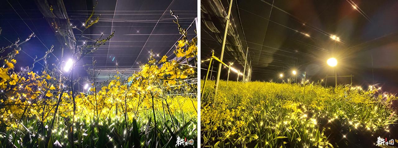 圖六、智能補光文心蘭的夜景呈現出與日間花海別完全不同的氛圍,金黃色的小花與光影巧妙地共舞